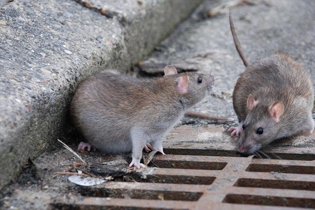 VELLETRI, GRECI: PAESE INVASO DAI RATTI!