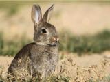 coniglio selvatico pantelleria