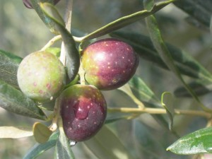 oliva itrana