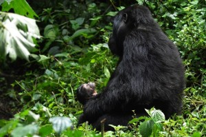 """Uganda's newest mountain gorilla, named """"Masiko"""" or """"Hope"""", was born in Bwindi Impenetrable National Park in late September. Uganda is home to approximately 480 mountain gorillas, more than half the world's remaining population. (PRNewsFoto/Uganda Tourism Board)"""