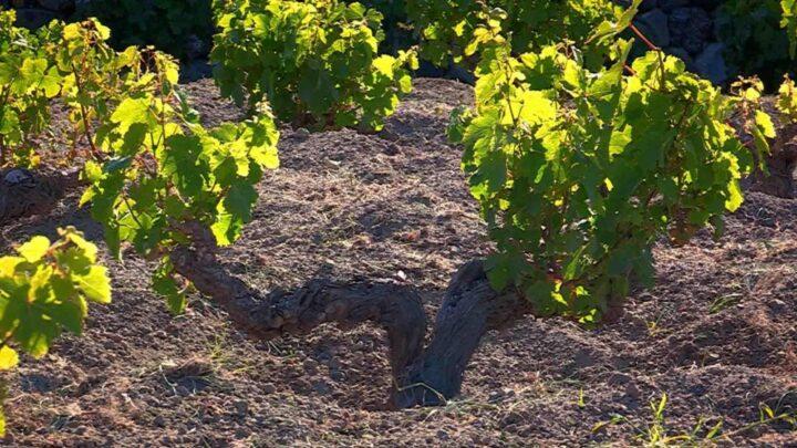vigna-vino-pantelleria
