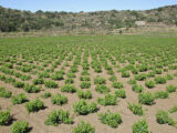 Pantelleria uva passito zibibbo vite
